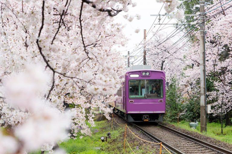 Japan Cherry Trees